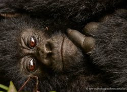 mountain-gorilla-rwanda-3285-copyright-photographers-on-safari-com