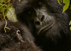 mountain-gorilla-rwanda-3286-copyright-photographers-on-safari-com