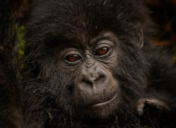 mountain-gorilla-rwanda-3287-copyright-photographers-on-safari-com
