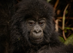 mountain-gorilla-rwanda-3288-copyright-photographers-on-safari-com