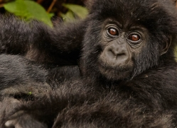 mountain-gorilla-rwanda-3289-copyright-photographers-on-safari-com