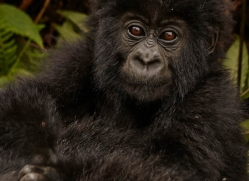 mountain-gorilla-rwanda-3290-copyright-photographers-on-safari-com