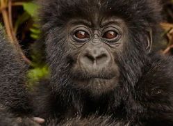 mountain-gorilla-rwanda-3291-copyright-photographers-on-safari-com
