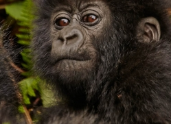 mountain-gorilla-rwanda-3292-copyright-photographers-on-safari-com