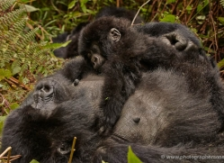 mountain-gorilla-rwanda-3293-copyright-photographers-on-safari-com