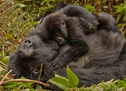 mountain-gorilla-rwanda-3294-copyright-photographers-on-safari-com