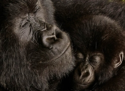 mountain-gorilla-rwanda-3295-copyright-photographers-on-safari-com