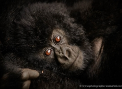 mountain-gorilla-rwanda-3297-copyright-photographers-on-safari-com