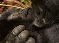 mountain-gorilla-rwanda-3298-copyright-photographers-on-safari-com