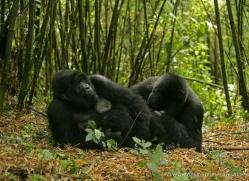 mountain-gorilla-rwanda-3300-copyright-photographers-on-safari-com
