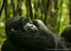 mountain-gorilla-rwanda-3301-copyright-photographers-on-safari-com