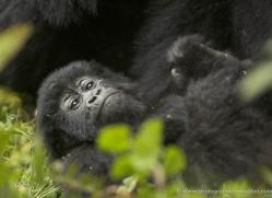 mountain-gorilla-rwanda-3306-copyright-photographers-on-safari-com