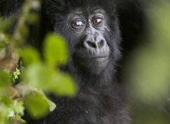 mountain-gorilla-rwanda-3307-copyright-photographers-on-safari-com