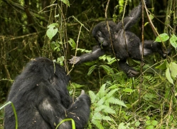 mountain-gorilla-rwanda-3308-copyright-photographers-on-safari-com