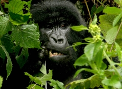 mountain-gorilla-rwanda-3314-copyright-photographers-on-safari-com