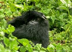 mountain-gorilla-rwanda-3315-copyright-photographers-on-safari-com