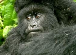 mountain-gorilla-rwanda-3317-copyright-photographers-on-safari-com