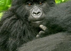 mountain-gorilla-rwanda-3318-copyright-photographers-on-safari-com