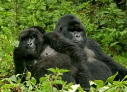 mountain-gorilla-rwanda-3319-copyright-photographers-on-safari-com