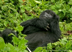 mountain-gorilla-rwanda-3320-copyright-photographers-on-safari-com