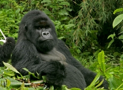 mountain-gorilla-rwanda-3321-copyright-photographers-on-safari-com