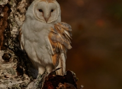 Barn Owl 2014-34copyright-photographers-on-safari-com