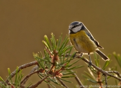 Blue Tit 2014-2copyright-photographers-on-safari-com