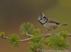 Crested Tit 2014-1copyright-photographers-on-safari-com
