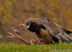 Golden Eagle 2014-2copyright-photographers-on-safari-com