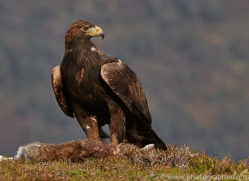 Golden Eagle 2014-6copyright-photographers-on-safari-com