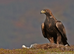 Golden Eagle 2014-7copyright-photographers-on-safari-com
