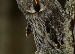 Great Grey Owl 2014-11copyright-photographers-on-safari-com