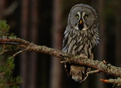 Great Grey Owl 2014-12copyright-photographers-on-safari-com