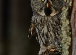 Great Grey Owl 2014-13copyright-photographers-on-safari-com