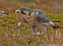 Peregrine Falcon 2014-11copyright-photographers-on-safari-com