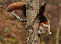 Red Panda 2014-6copyright-photographers-on-safari-com