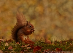 Red Squirrel 2014-1copyright-photographers-on-safari-com