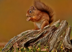 Red Squirrel 2014-3copyright-photographers-on-safari-com