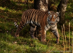 amur-tiger-781-scotland-copyright-photographers-on-safari-com