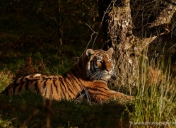 amur-tiger-783-scotland-copyright-photographers-on-safari-com