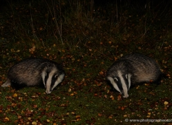 badger-734-scotland-copyright-photographers-on-safari-com