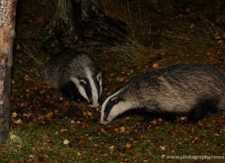 badger-737-scotland-copyright-photographers-on-safari-com