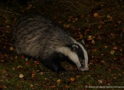 badger-738-scotland-copyright-photographers-on-safari-com