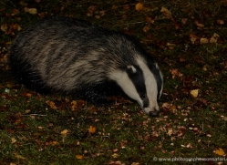 badger-739-scotland-copyright-photographers-on-safari-com