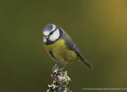 blue-tit-837-scotland-copyright-photographers-on-safari-com