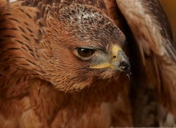bonellis-eagle-686-scotland-copyright-photographers-on-safari-com