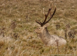 bukhara-deer-805-scotland-copyright-photographers-on-safari-com
