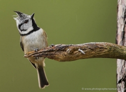 crested-tit-697-scotland-copyright-photographers-on-safari-com