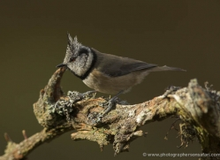 crested-tit-699-scotland-copyright-photographers-on-safari-com