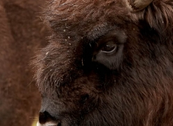 european-bison-776-scotland-copyright-photographers-on-safari-com
